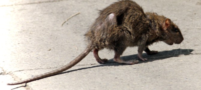 Rat population on rise in the Berkshires