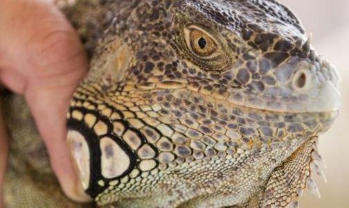 Green iguanas all over South Florida