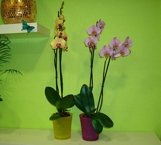 Sorprende este San Valentín: Orquidea nacional + macetero a 20€.