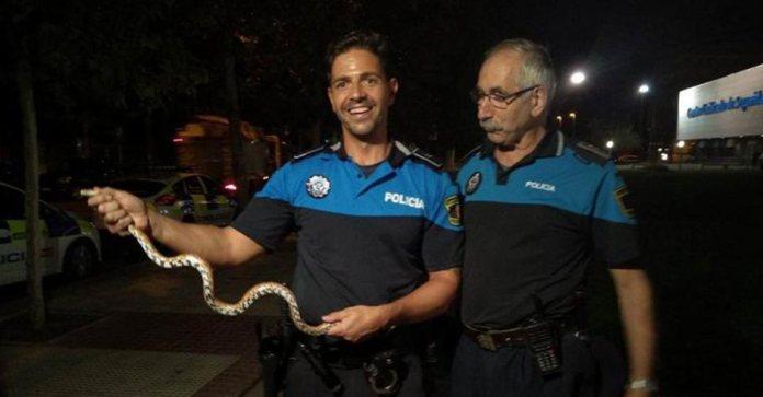 """Policía Local de Alcorcón capturan una serpiente del maíz o """"falsa coral"""" en la terraza de una vivienda."""