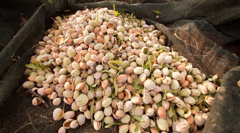 almonds in spain