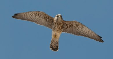 kestrel-mountains-alcoy