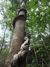Tree Vine