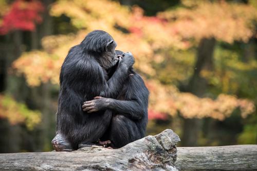 Juez deniega solicitud para extender derechos legales a dos chimpancés