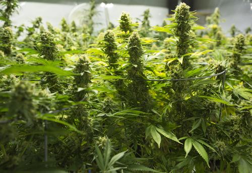 Administración para el Control de Drogas no cambiará clasificación de la marihuana