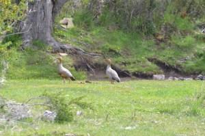 aves magallanes
