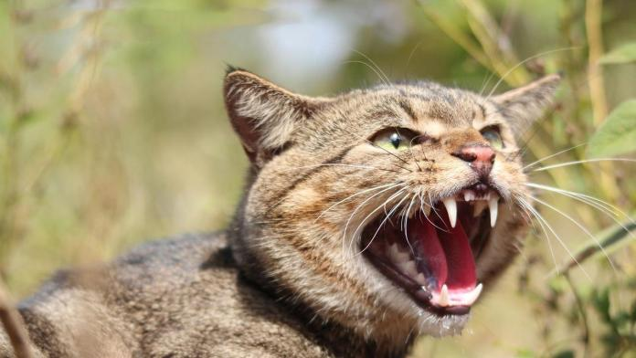 Calls for night-time cat curfew to address Australian feral cat pandemic