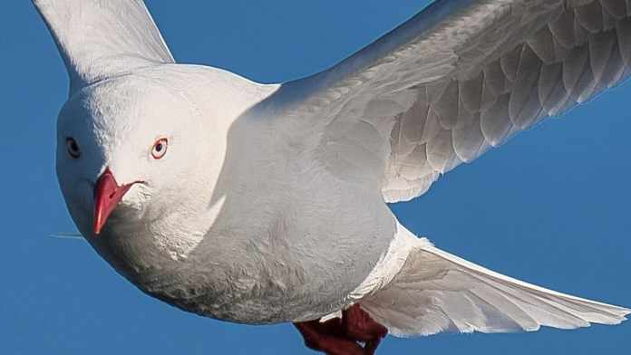 Seagull flies off with man's tongue after Leith Walk argument