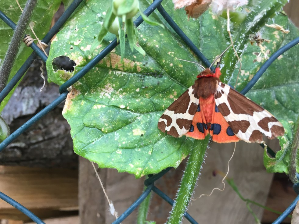 A Tiger Moth displaying resting on a cucumber plant leaf displaying its red and black underwing.