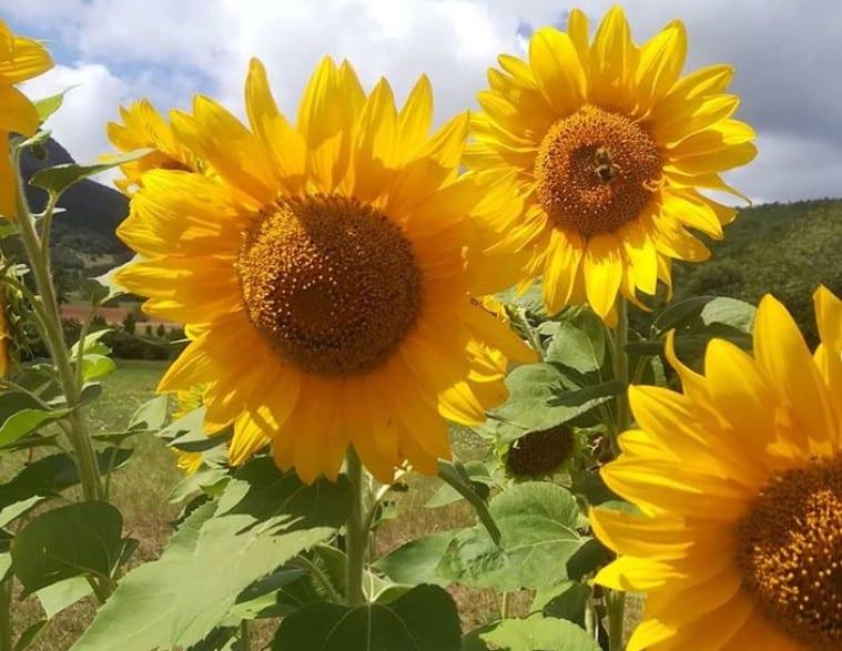 A Vegetable Garden in Aude: August