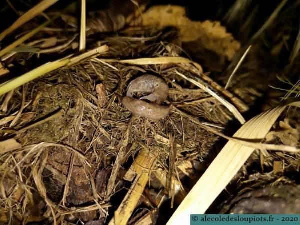 Reproduction de la limace