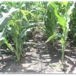 капельный полив кукуруза