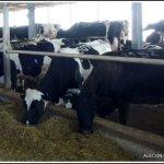 Корма и молоко. Коровники