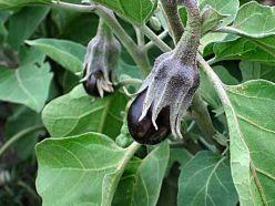 Баклажаны. Выращивание