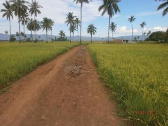 Rice fields at Barangay Anahaw