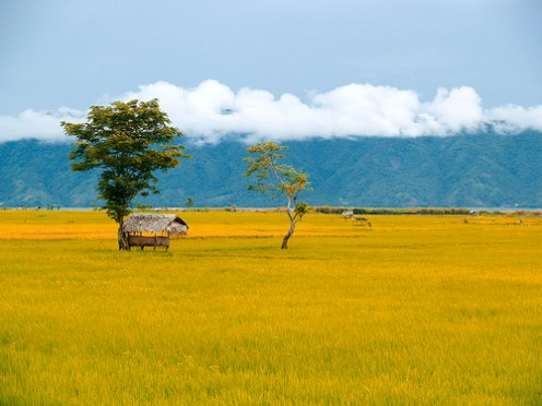 Rice (palay) ready for harvest