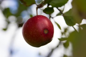 photo of an apple in a tree