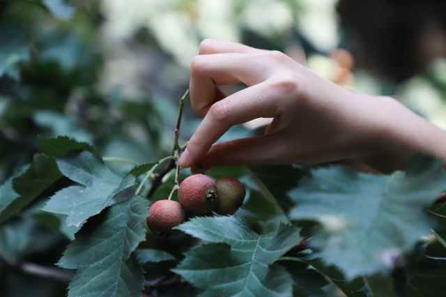 close up photo of person picking red fruit