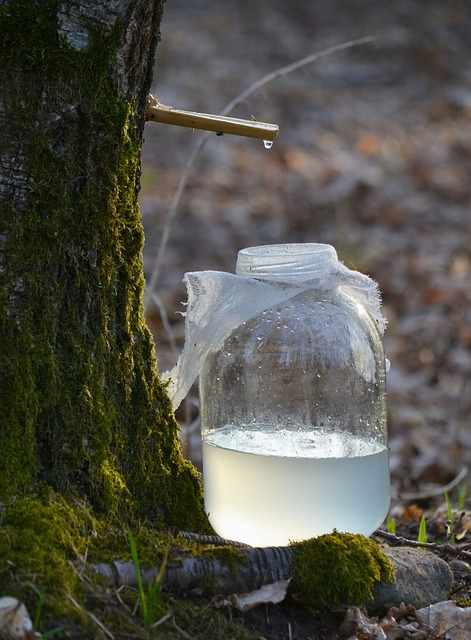 Birch juice. Pros and cons