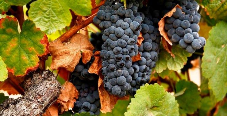 Projeto divulga boas práticas para proteger a biodiversidade na viticultura
