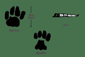 african-wild-cat_track