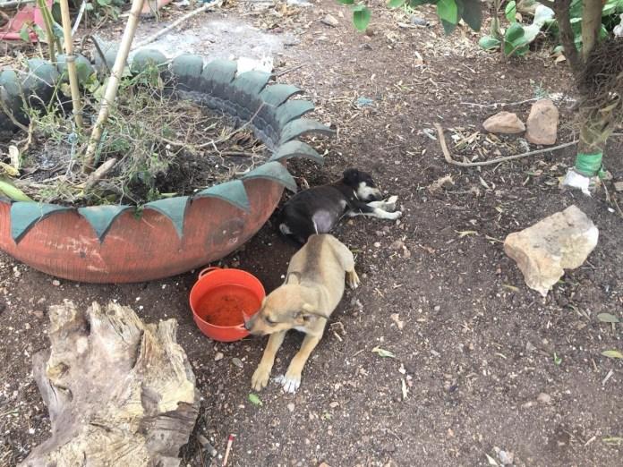 Mascotas, los más vulnerados en los desalojos del Mocri; activistas les buscan hogar 8de14b1c 18a3 4dfe 8f7a ffd721cca5b3