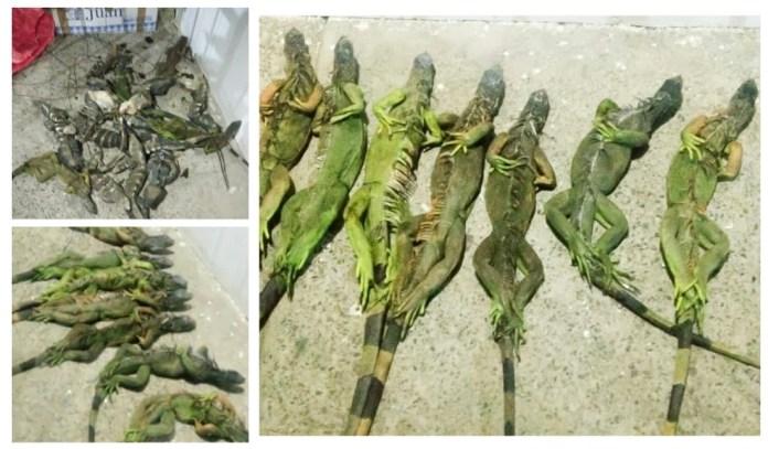 Traficaba 110 iguanas en ocho cajas; fue detenida b0edd56b 694e 42ad b2e2 8d88eb08bdc6 1