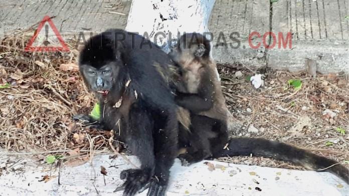 Cinco monos del zoológico se electrocutan; muere una 50F77672 836D 43F6 B17A 667FC10A4F67