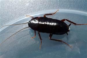 Oriental Cockroaches Joplin MO