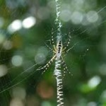 Black and Yellow Garden Spider Joplin MO