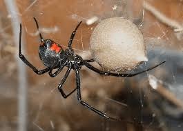 Black Widow Spider Joplin MO