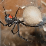 Black Widow Spider Joplin MO