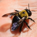 Carpenter Bee Joplin MO