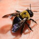 Carpenter Bee Joplin MO