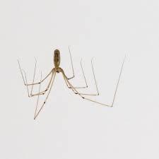 Cellar Spider Joplin MO