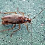 German Cockroach Joplin MO