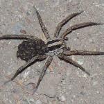Wolf Spider Joplin MO