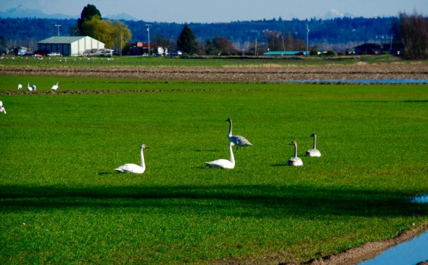 The Trumpeter Swan are found often with mates.