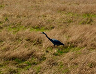 The Great Blue Heron shows itself with its rather large and lanky body.