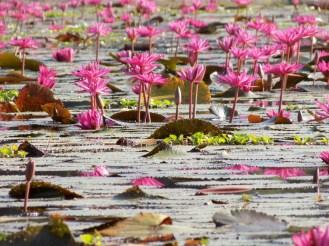 Ninfee - Cambogia