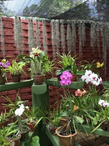 Orchidee al giardino botanico - Sri Lanka