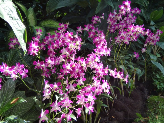 Orchidee all'orto botanico - Singapore