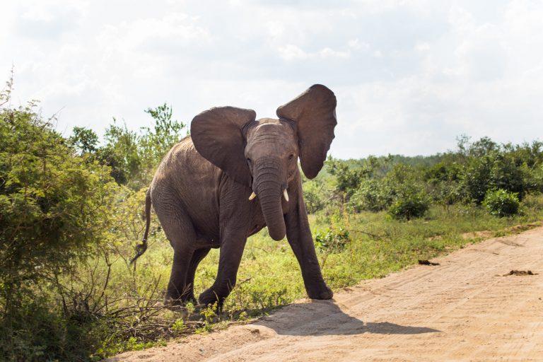 Elephant in Kruger National Park - Datsun Go Road trip