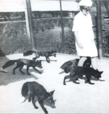 Volpi in Siberia . Seguendo l'esperimento dell'addomesticazione del lupo si provò con le volpi