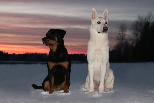 Ricette cani Taglia grande. Pastore Tedesco e Rottweiler sulla neve