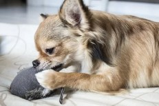 Il cane non fa dispetti quando rosicchia l'arredamento, ma sfoga la sua frustrazione