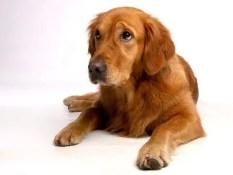 A volte non è necessario che il cane abbia seguito un addestramento particolare per non tirare al guinzaglio