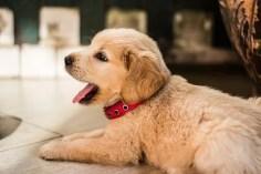 Foto di cucciolo di golden retriever. Se il cane tira  al guinzaglio da adulto... forse non è stato bene abituato da cucciolo. L'addestramento risulta necessario allora