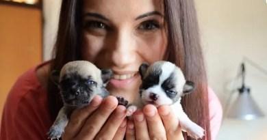 Cuccioli di chihuahua Allevamento di Villa Andrei