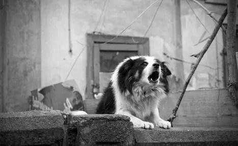 Vocalizzazione del cane. L'Abbaiare